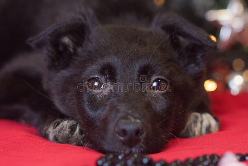 Weihnachtshundekonzept Schwarzer Hund Welpentiere Neues Jahr lizenzfreies stockbild