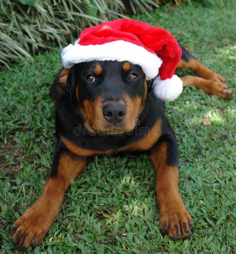 Weihnachtshut rottweiler lizenzfreies stockfoto