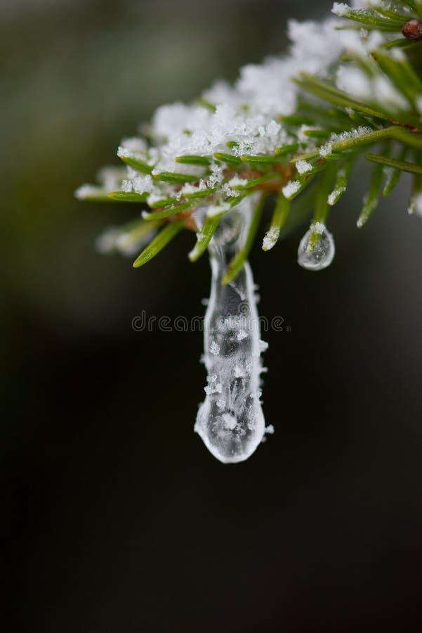 Weihnachtsimmergrüne Kiefer bedeckt mit frischem Schnee stockfotografie