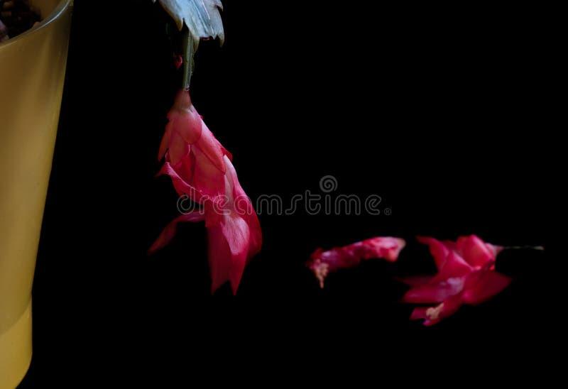 Weihnachtskaktuss-Blumen lizenzfreies stockbild