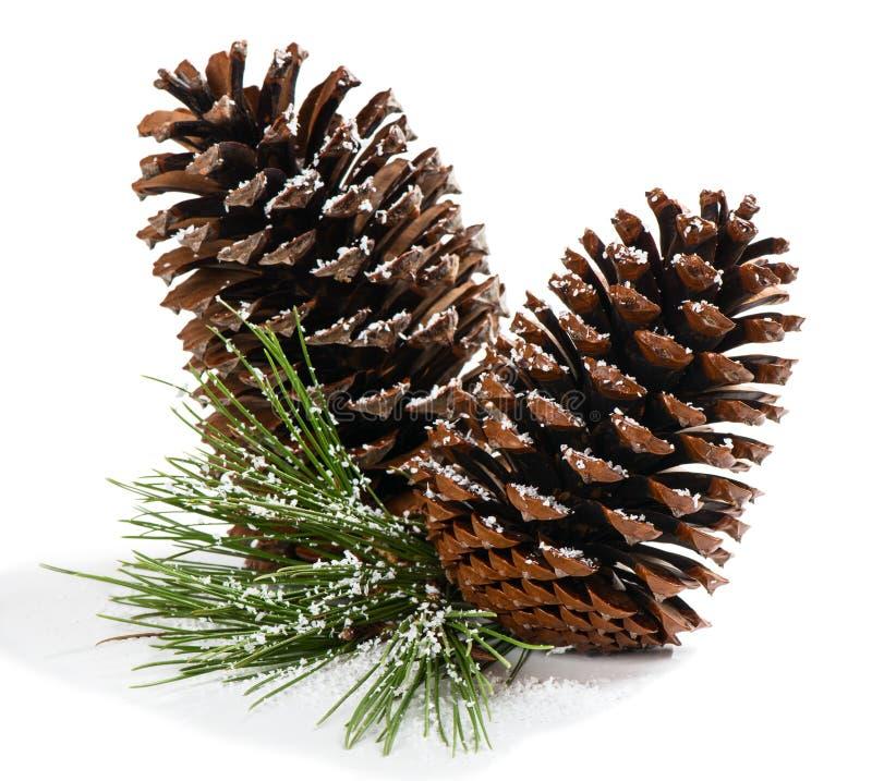Weihnachtskiefernniederlassung mit Kegeln lizenzfreie stockfotos