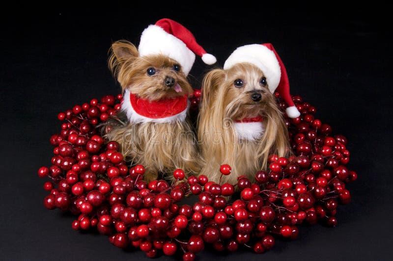 Weihnachtsyorkshire-Terrierhunde lizenzfreies stockfoto