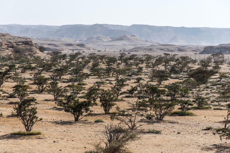 Weihrauchbaum pflanzt wachsende Wüste plantage Landwirtschaft nahe Salalah Oman 4 lizenzfreie stockfotografie