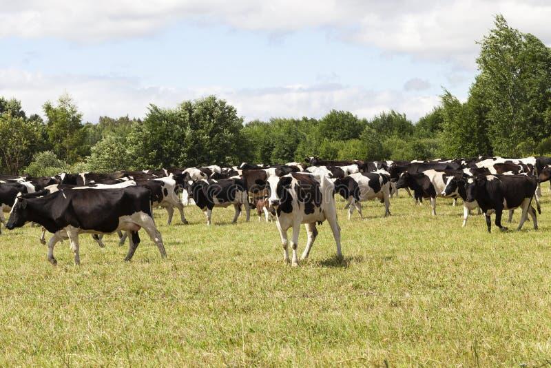weilanden van een koe stock afbeelding