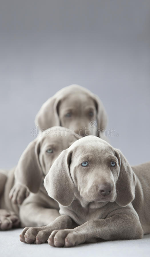 Weimar psa bracia obraz stock