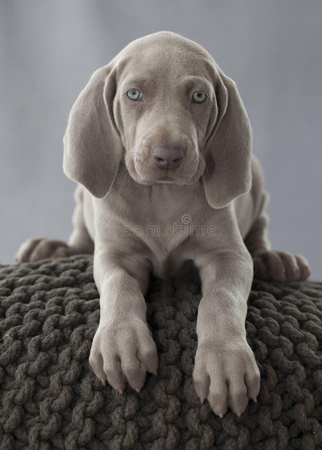 weimar szczeniaka pies fotografia royalty free