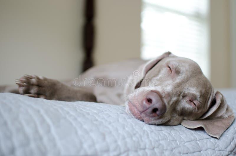 weimaraner спать стоковая фотография