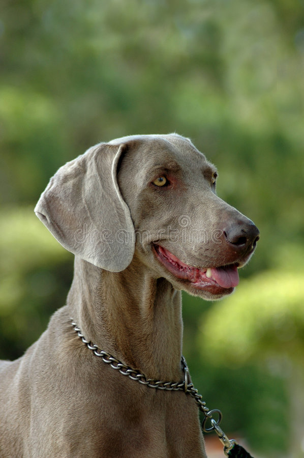 Download Weimaraner Stock Images - Image: 1889294