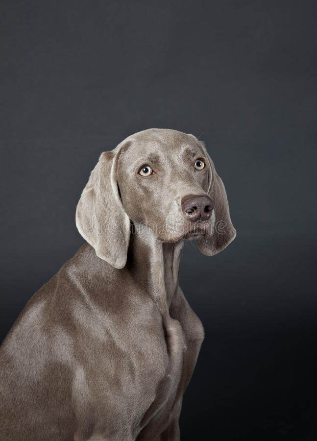 Download Weimaraner stock photo. Image of domestic, weimaraner - 26334228