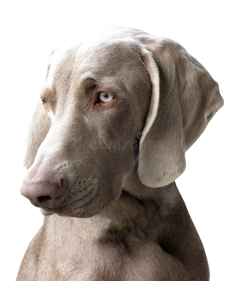 Weimaraner. Dog isolated on white