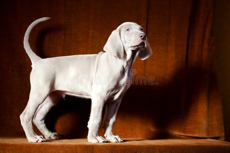 Download Weimaraner Blue Puppy Stock Photo - Image: 30236060