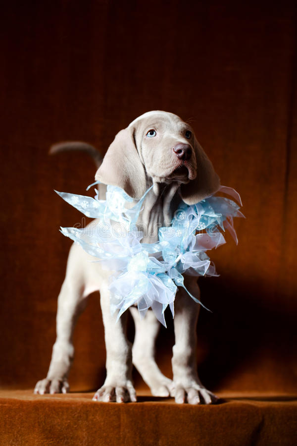 Download Weimaraner blue puppy stock image. Image of pointer, animal - 30236219