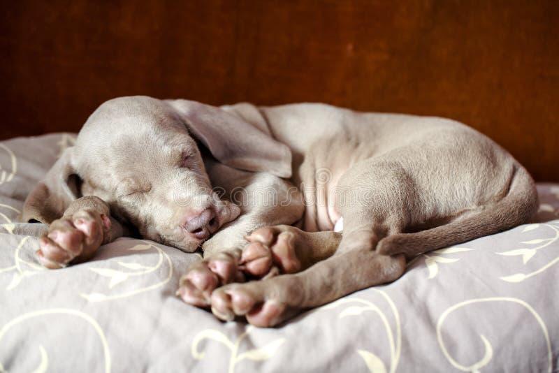 Weimaraner Blue Puppy Royalty Free Stock Photo