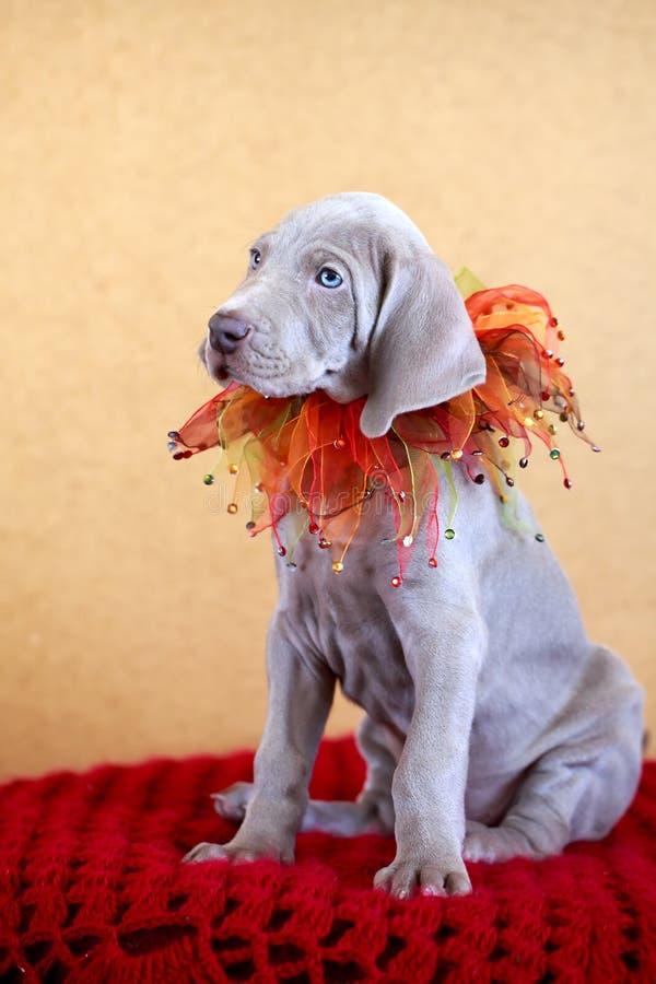 Weimaraner Blue Puppy Royalty Free Stock Image
