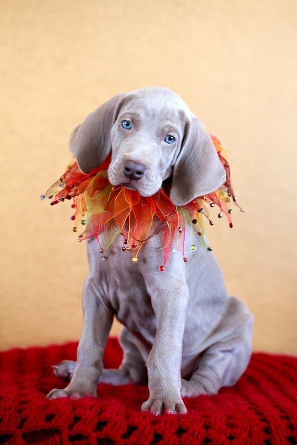 Weimaraner Blue Puppy Stock Image