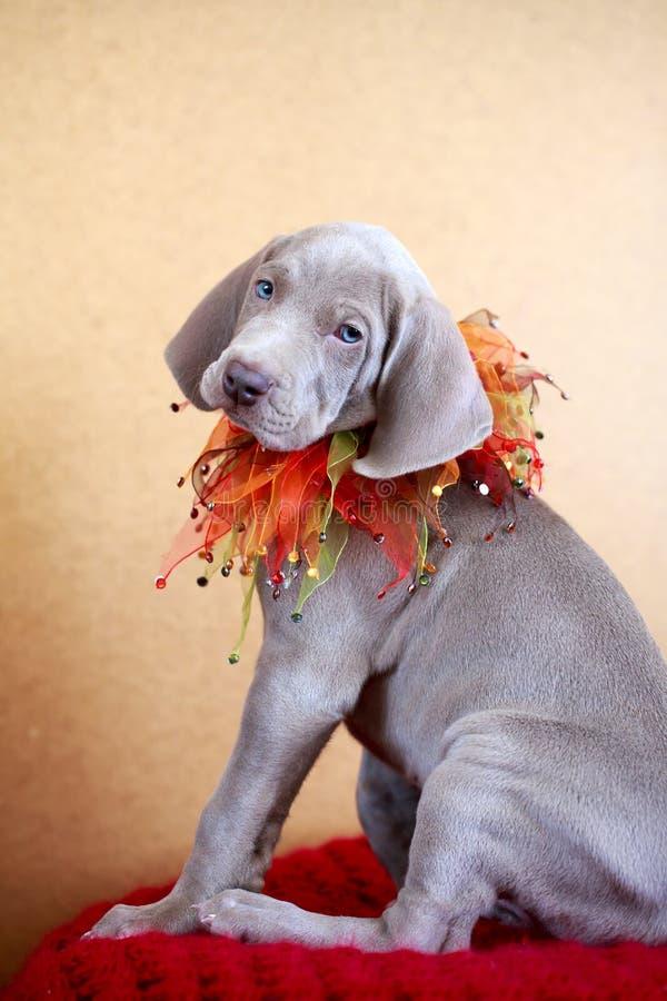 Download Weimaraner blue puppy stock photo. Image of puppy, blue - 30238280