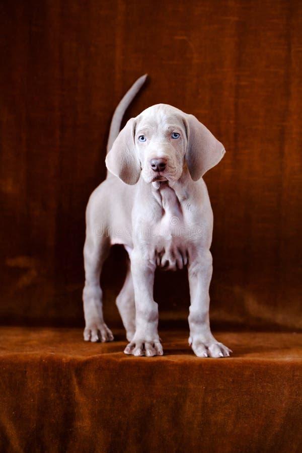 Download Weimaraner blue puppy stock photo. Image of weimar, weimaraner - 30238584