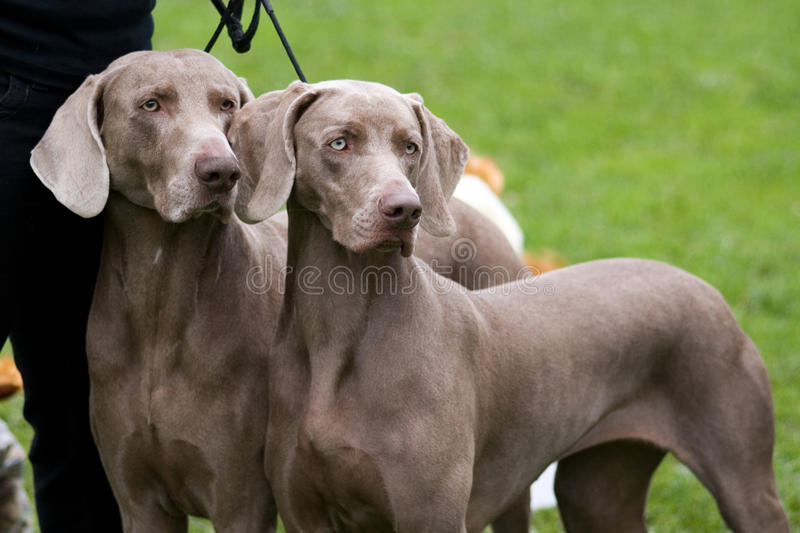 Download Weimaraner Breed Dogs Couple Royalty Free Stock Photography - Image: 15366697