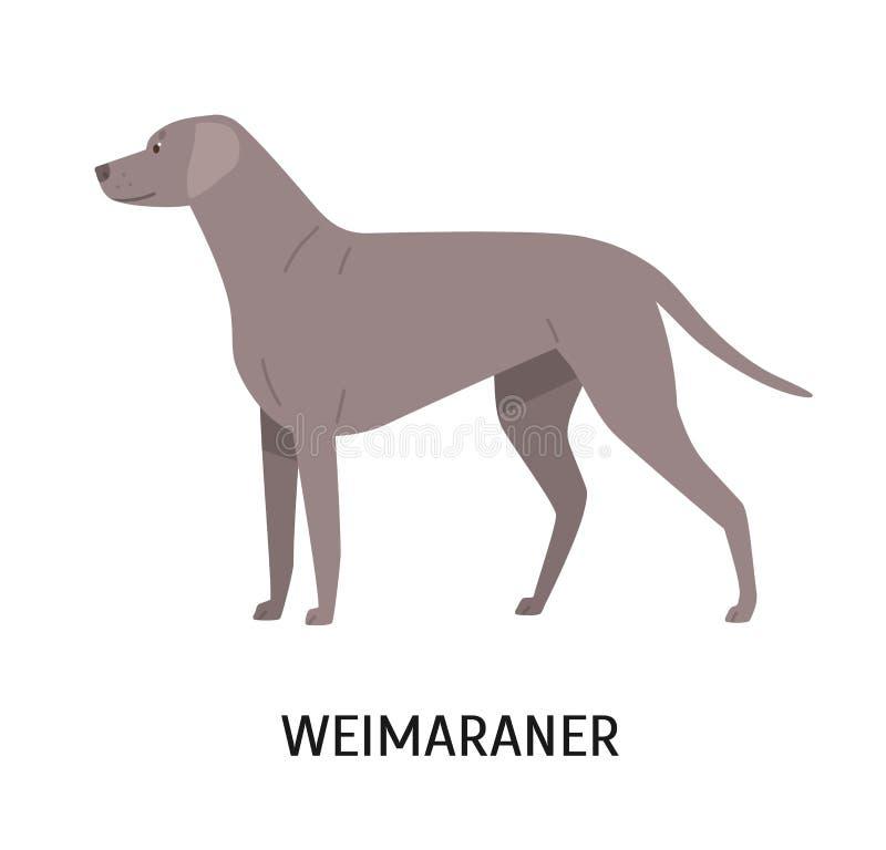 Weimaraner Chien mignon de stupéfaction de chasser la race ou le chien de chasse d'isolement sur le fond blanc Animal de race ado illustration stock