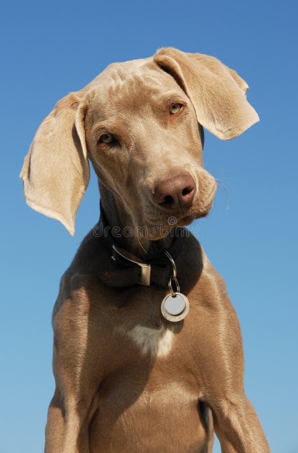 Weimaraner do filhote de cachorro foto de stock