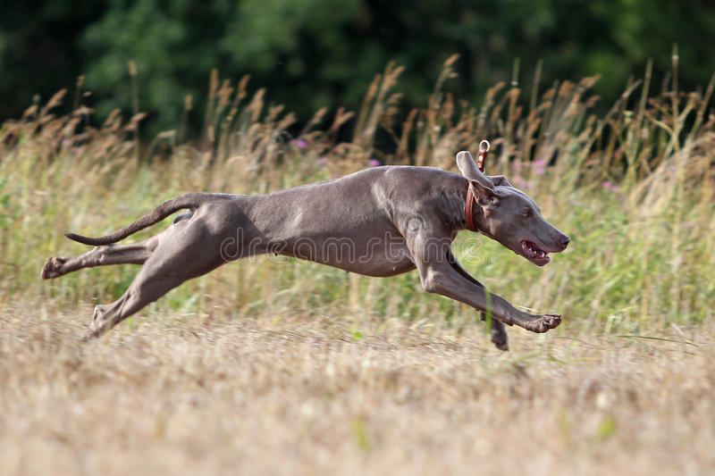 Download Weimaraner dog stock photo. Image of straw, yellow, animal - 25924316