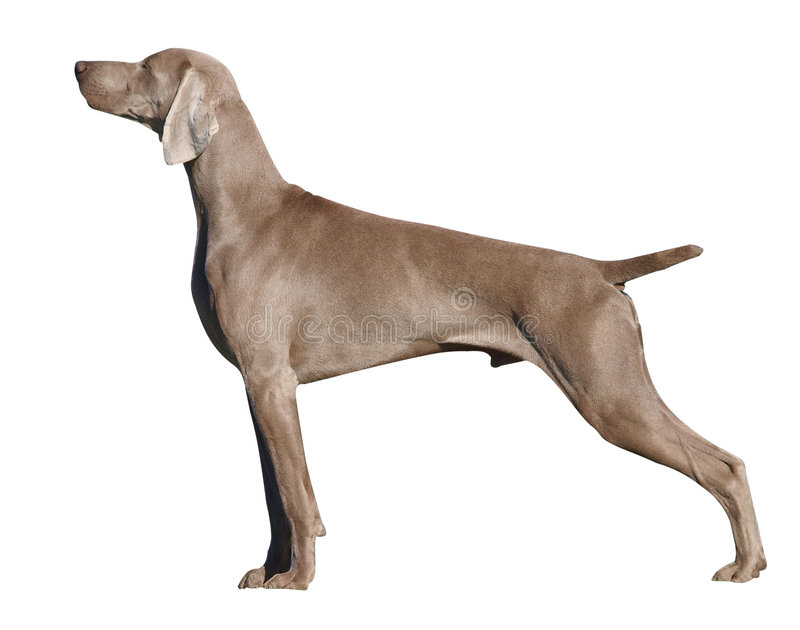 Weimaraner Dog. Isolated with clipping path royalty free stock photography