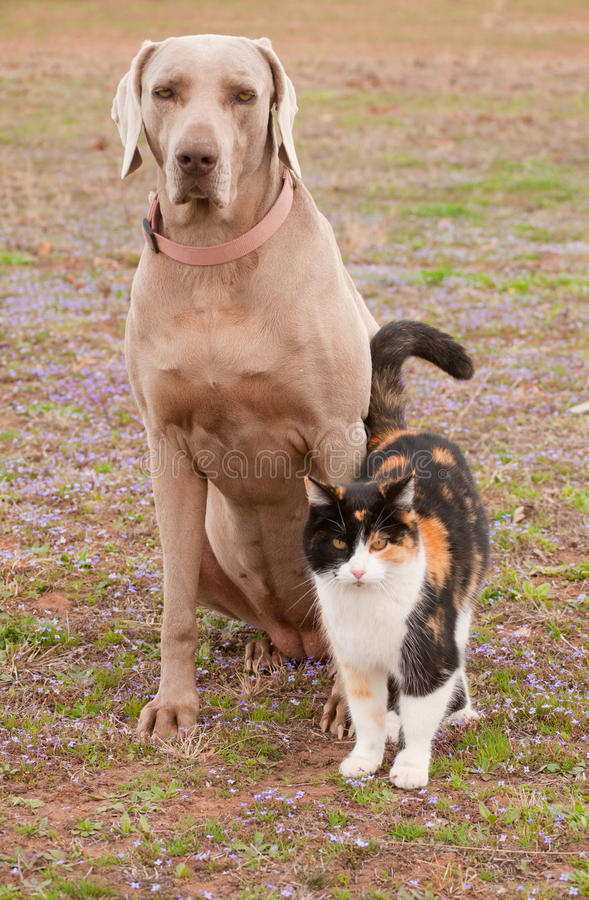 Weimaraner dog and a calico cat in spring grass. Friends together royalty free stock image