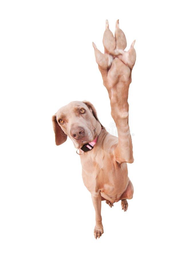 Weimaraner dog doing a high five royalty free stock photos