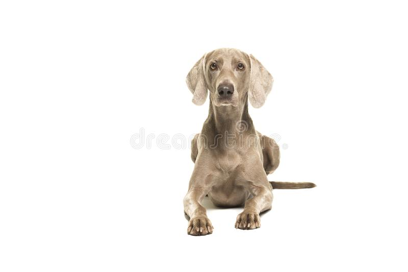 Weimaraner dog lying down looking at the camera seen from the front stock photos