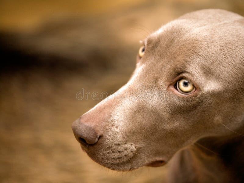 Weimaraner dog portrait royalty free stock photo