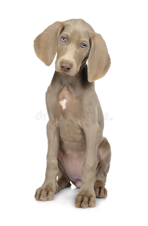 Weimaraner dog on a pure white background. Cute young Weimaraner dog on pure white background royalty free stock photos