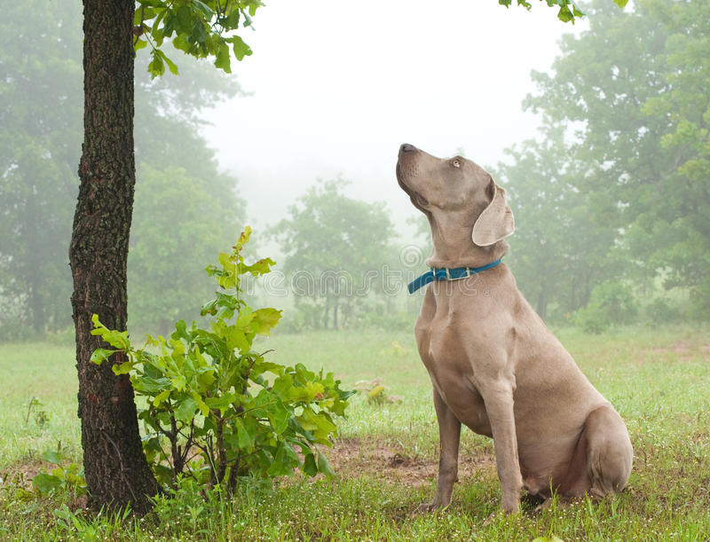 Weimaraner dog sitting under a tree royalty free stock images