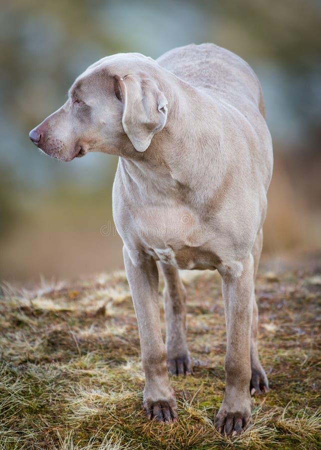 Weimaraner dog stock images