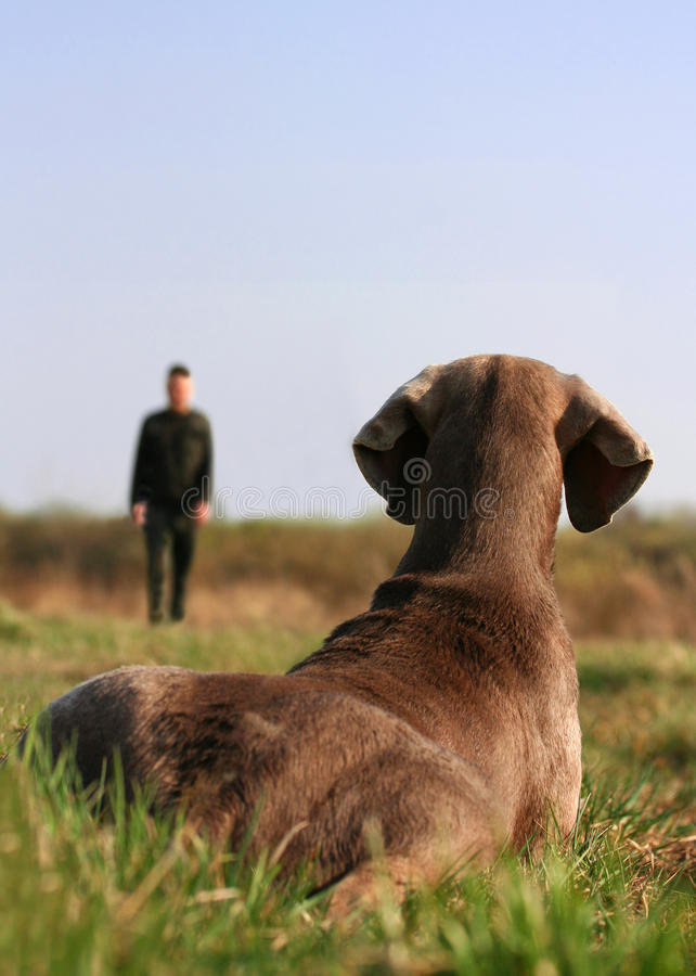 Weimaraner on dog training royalty free stock photography