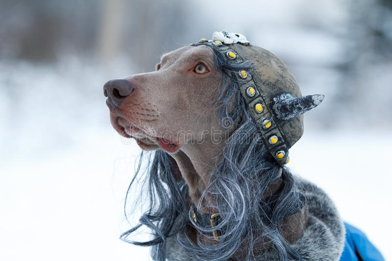 Download Weimaraner Dog Viking Royalty Free Stock Photography - Image: 28565637