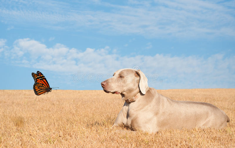 Weimaraner dog watching a pretty butterfly stock photography