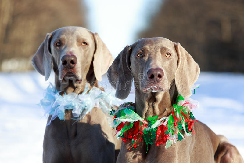 Download Two Dogs Royalty Free Stock Image - Image: 30036876