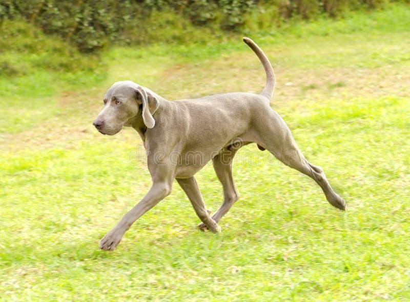 Weimaraner dog stock photos