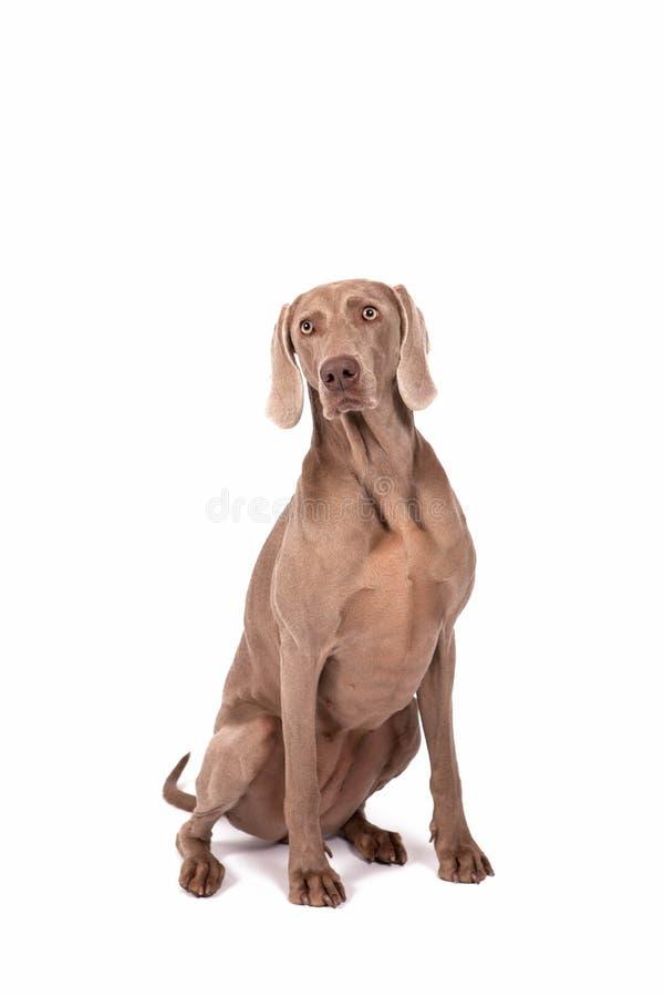 Weimaraner female dog royalty free stock image