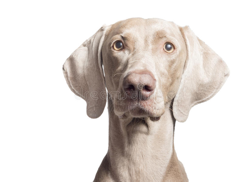 Weimaraner Front 2. A portrait of a purebred hunting female Weimaraner, also known as silvery-gray, gray ghost or silver ghost, looking at the camera, isolated royalty free stock images