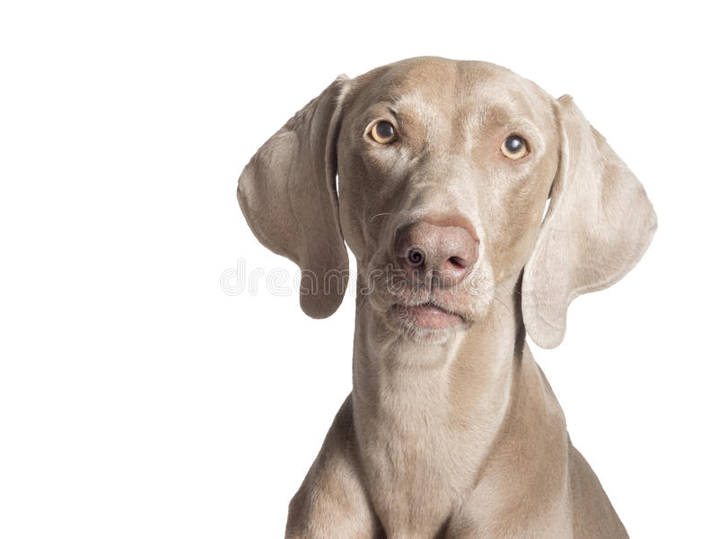 Weimaraner Front. A portrait of a purebred hunting female Weimaraner, also known as silvery-gray, gray ghost or silver ghost, looking at the camera, isolated royalty free stock photo