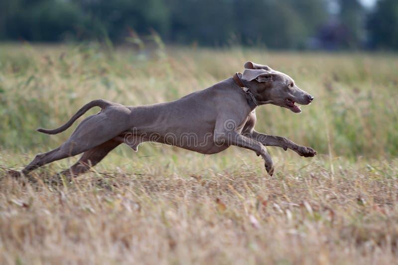 Weimaraner Hund Arkivbild