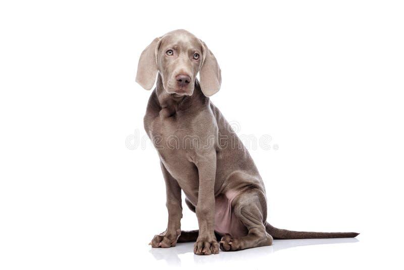 Weimaraner isolated on white. Weimaraner dog isolated on white royalty free stock photo