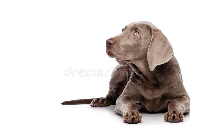 Weimaraner isolated on white. Weimaraner dog isolated on white stock photos