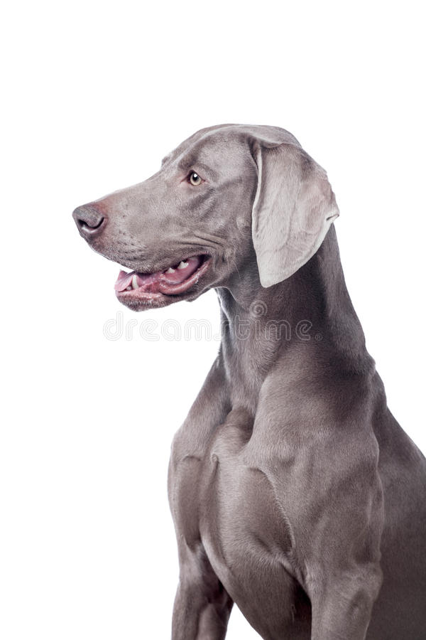 Download Weimaraner Isolated On White Stock Image - Image: 39599729