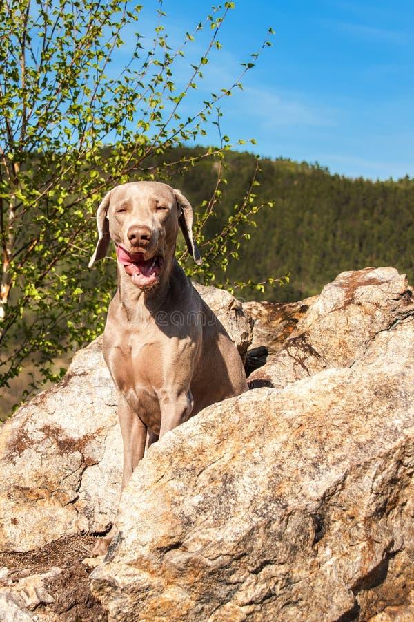 Weimaraner op rots in bosjachthond op de jacht De lentegang door het bos met een hond Hond op de jacht royalty-vrije stock foto