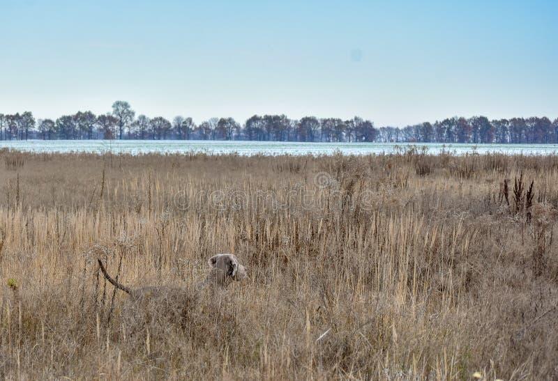 Weimaraner Puntatore di Weimar Il cane sulla caccia per la pernice Cane su punto nel campo immagini stock libere da diritti