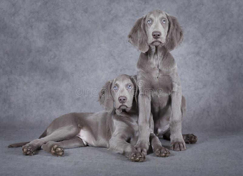 Weimaraner puppies in front of grey background stock photo