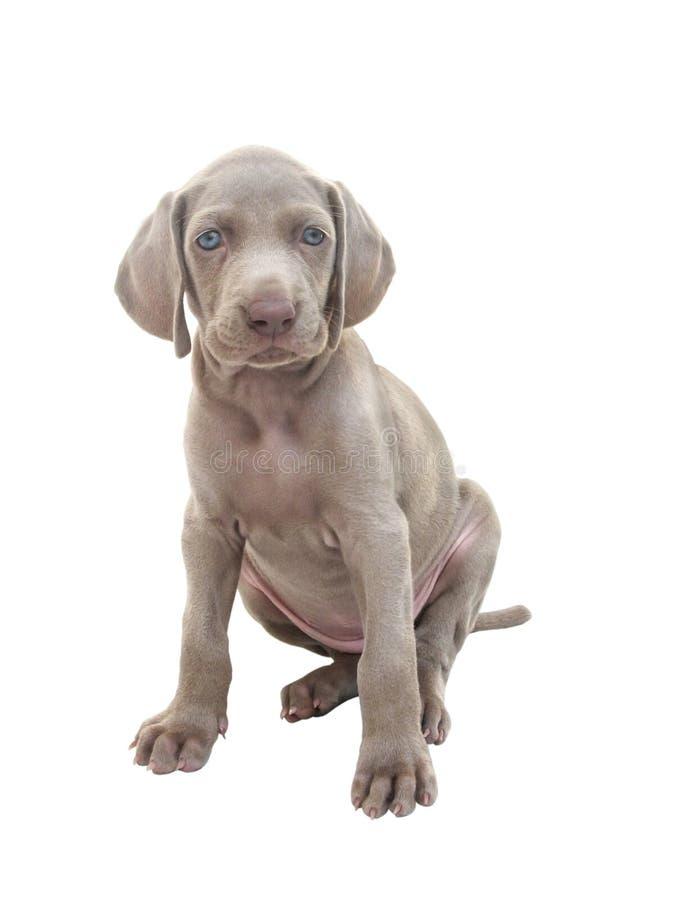 Weimaraner puppy 01 royalty free stock image