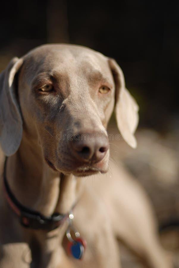 weimaraner puppy royalty-vrije stock foto's